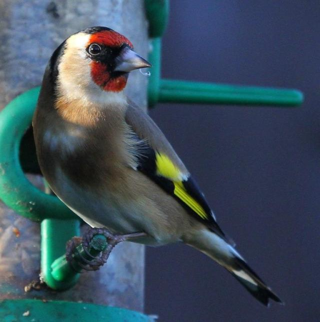 Goldfinch - the wing bars give it the name