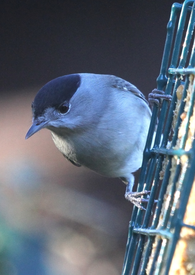 The blackcap. Pretty obvious how it got its name. Nothing to do with New Zealand.