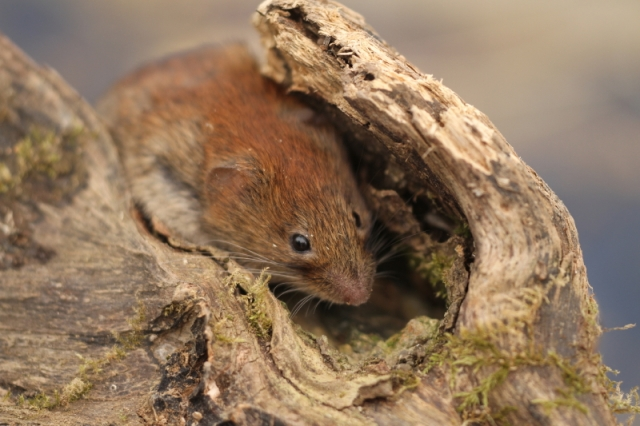 A Bank vole. but not in the road, and viewed in the comfort of your own home, not through the car windscreen!