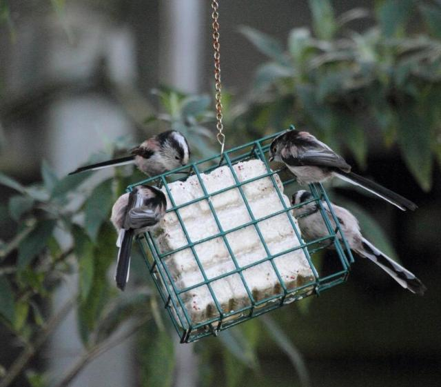 Long tailed tits - amazingly chirpy, always on the go, non-stop calling to each other and always hungry. Sounds like a few people that I know!