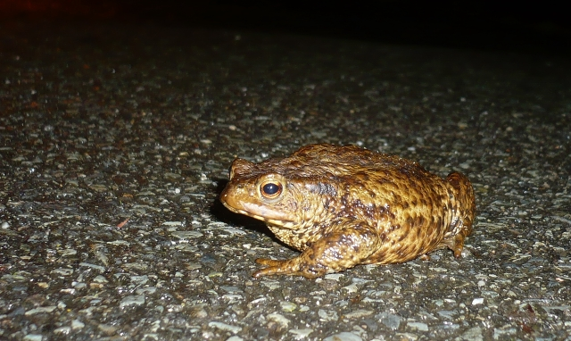 Toad - not looking particularly chuffed at being rescued from the road..