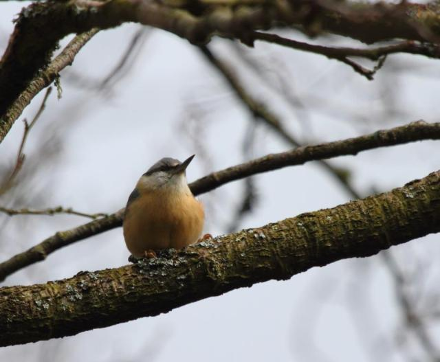 One of the Nuthatch pair. The black mask across the eyes is the reason they are also called Bandits.