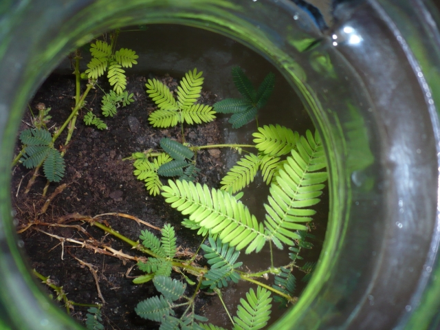 Sensitive plant. Alive. Against all the odds!