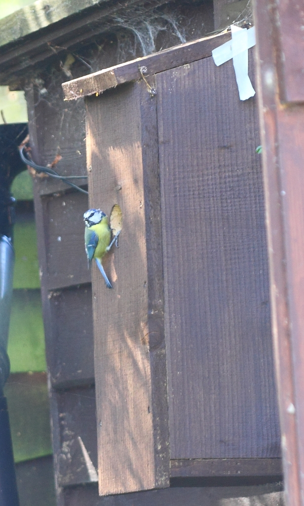 Blue tit checking out the potential neighbours - wondering why I'm not at work!