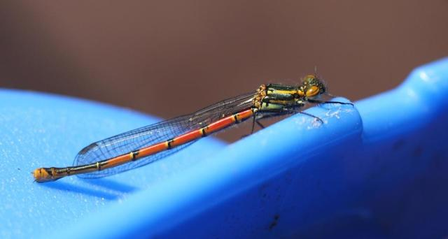 Large red damselfly. Only it's not large, and it's not very red yet either..