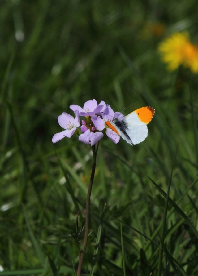 Male orange tip - No idea how it got that name! ;-)  nectaring on cuckoo flower