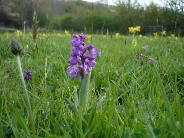 Green winged orchid on its way up.