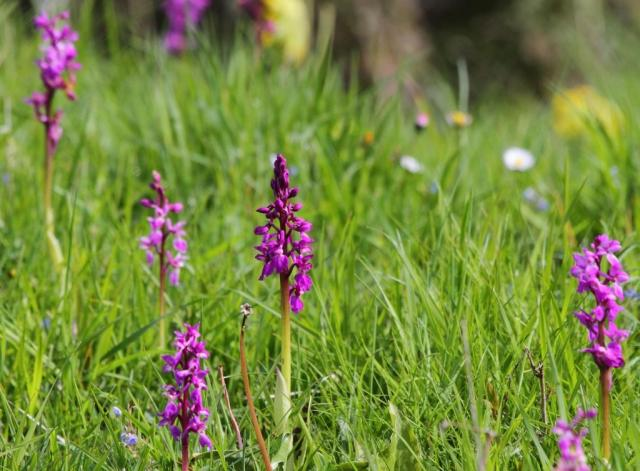 Early purple orchids - a big old splash of colour!