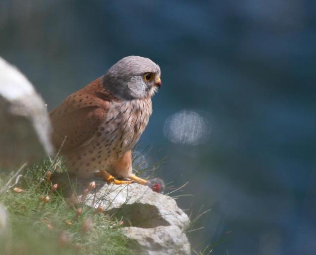 Kestrel, looking out to sea whilst clutching it's lunch. Just like being at a picnic!