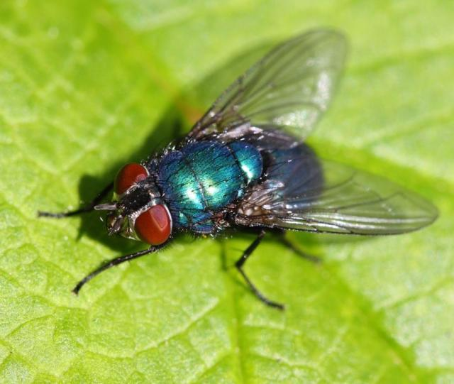 Isn't that a pretty impressive colour for a fly?