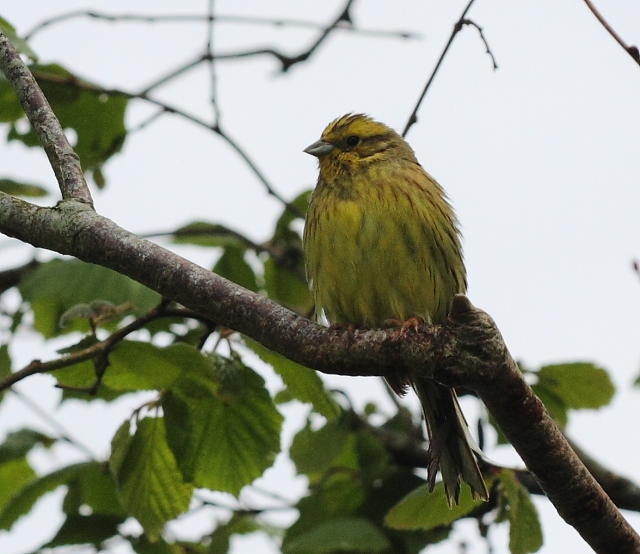 Yellowhammer. There's a hint of yellow there.