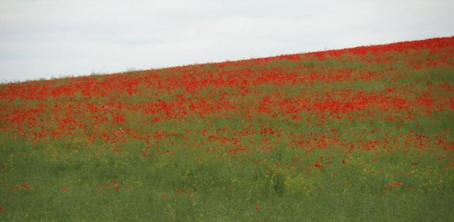 The centre of the field was a mass of poppies