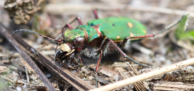 Green tiger beetle. I'm so glad it's only beetle sized!