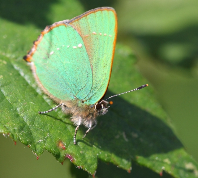 Green hairstreak. They are actually not that easy to spot - despite the intense colour.