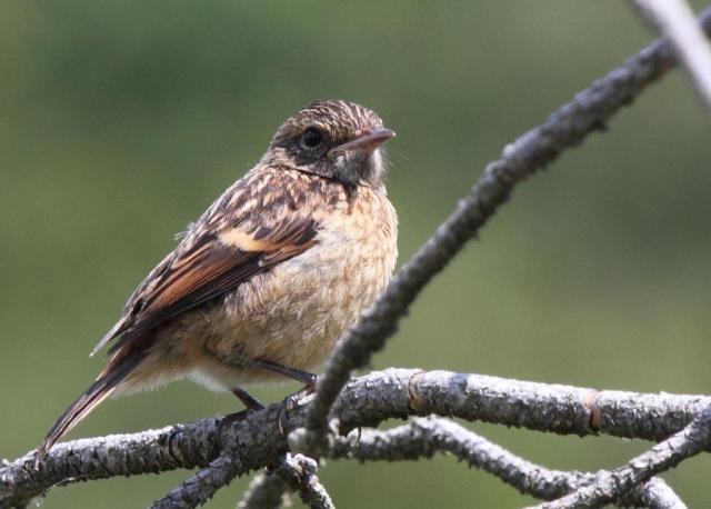 Young stonechat -probably bored at having to listen to its mum and dad 'chacking' at me.