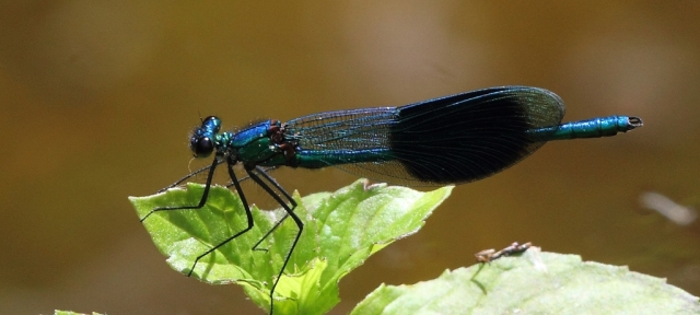 Banded demoiselle - a cracker!
