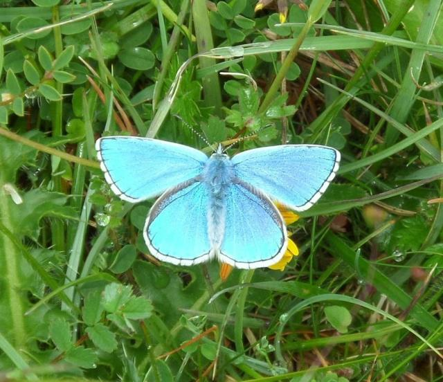 Male adonis blue. The camera tells a lie in this case, as it simply can't do justice to the true colour of this stunner of a butterfly.