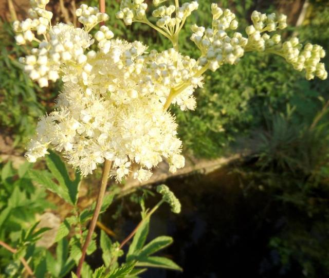 Meadowsweet. Grow it, and watch the bees having a party!