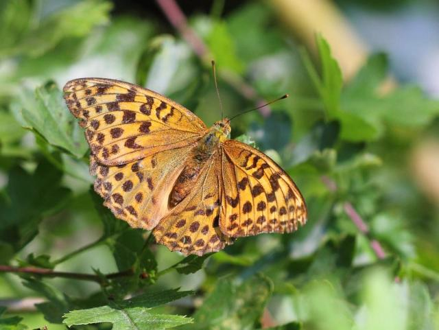 Half an orange, or a Silver washed Fritillary..