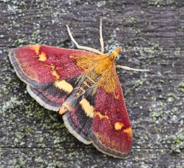 A mint moth - not to scale!