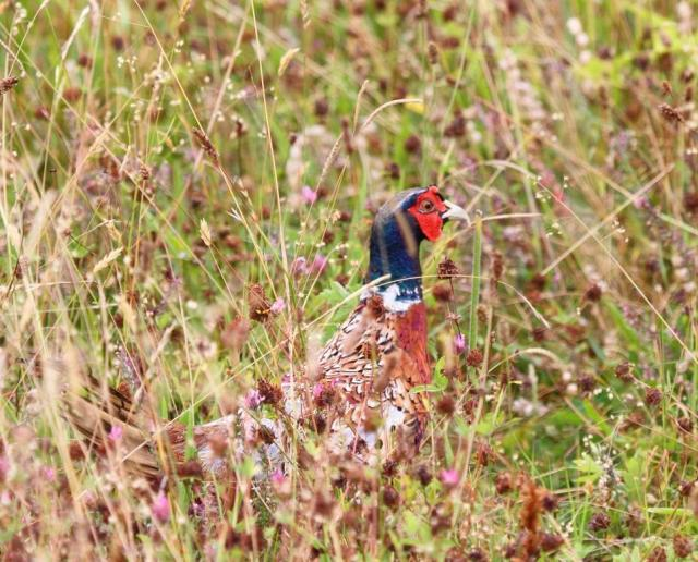 Male pheasant, happy to keep his feet on the ground.