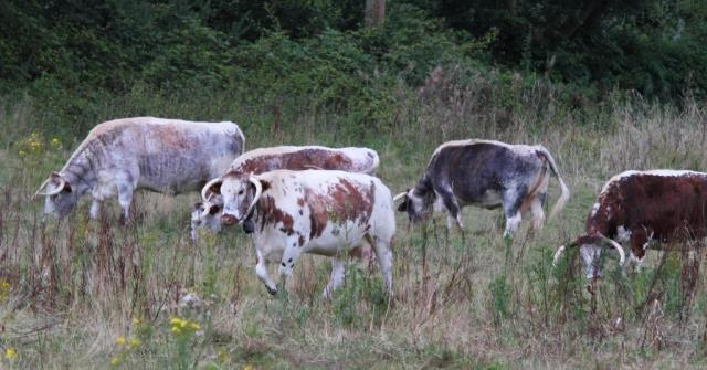 Part of a herd of longhorns. Lovely sound of the cowbells!