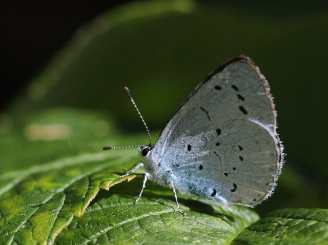 Holly Blue - look out for a blue butterfly whizzing along at 6-20 feet up. That'll be a Holly blue.