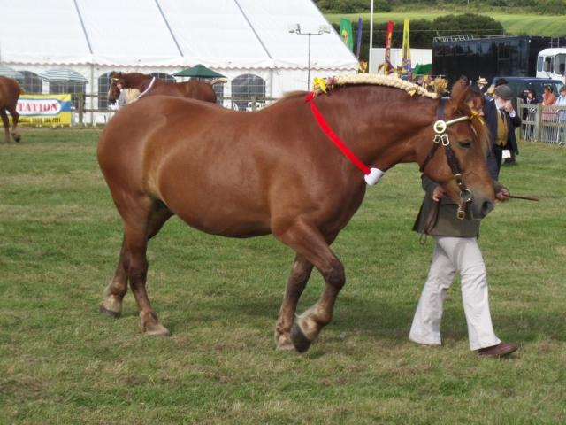 The Suffolk punch judging underway. Those horses are SOLID muscle!