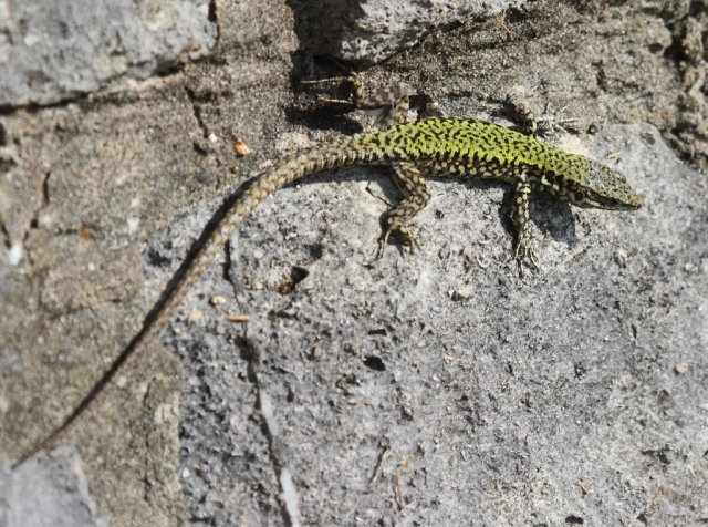 Wall lizard doing what comes naturally. Clambering around on a wall.