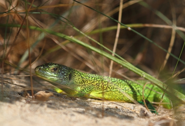 Western Green lizard. They don't do walls. They just look awesome.