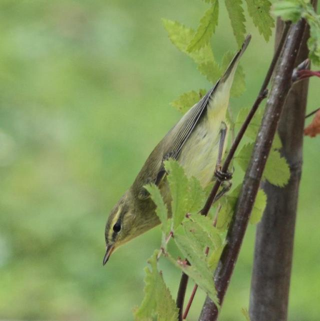 A willow warbler, prepping for a long journey.
