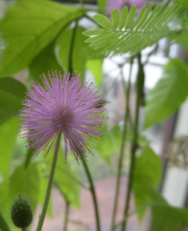 That's the flower. Bit delicate, but then it would be - it's the flower of a sensitive plant after all.
