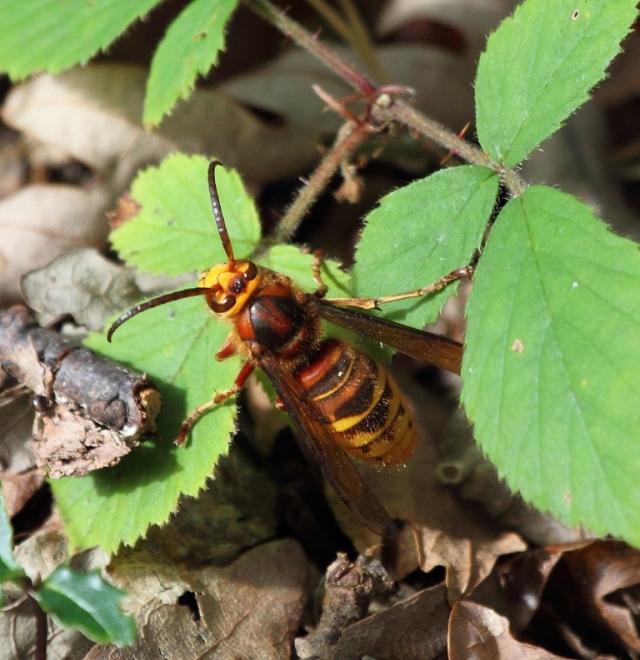 Hornet. Better than a wasp!
