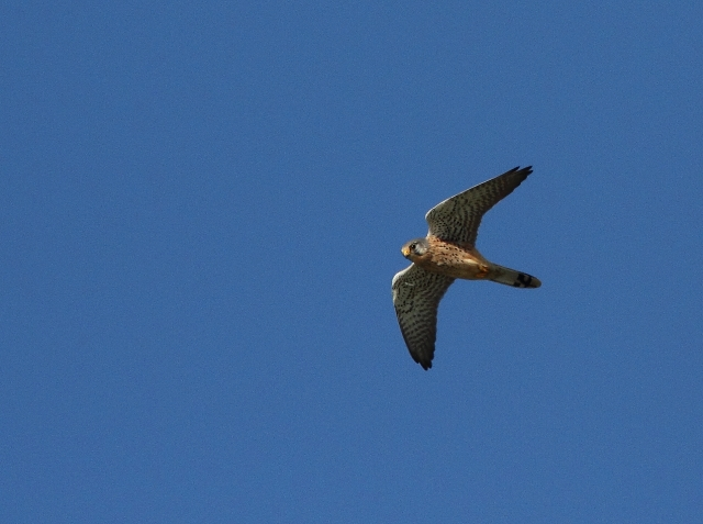 The kestrel flew by at quite some speed..