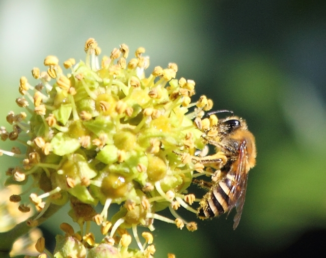 An ivy bee, at home on some ivy.
