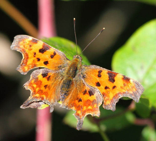 Comma. Named because of the small, comma shaped white mark on  the underside of the wings. Remarkably  bright orange when in flight.