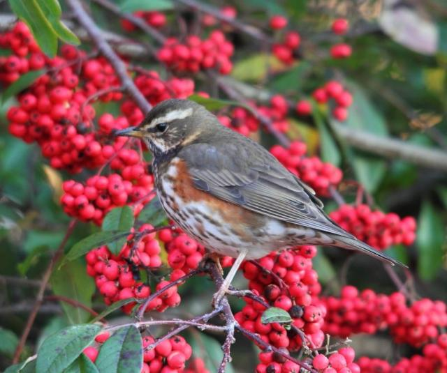 A Redwing.  No, they don't have red wings - they have chestnut coloured underwings and flanks - the next best thing.