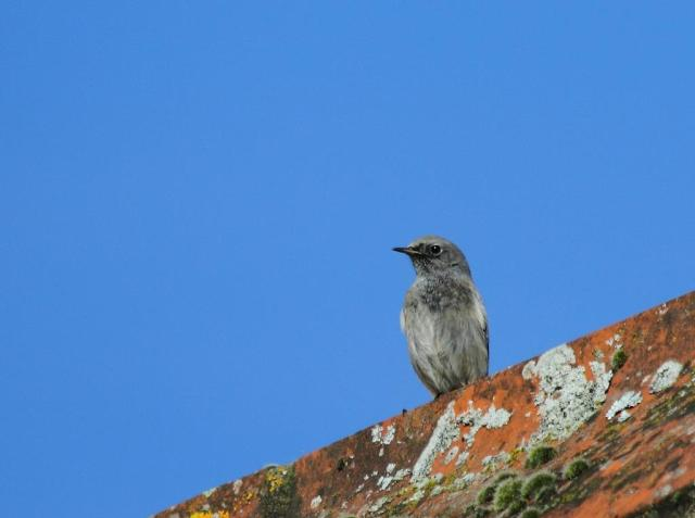 Black redstart on the roof - with a bit of blue sky as a background.