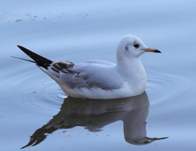 A juvenile black headed gull