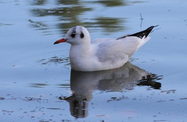 Adult black headed gull -  with non-black head of course.