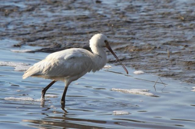 Spoonbill image one. The first of a few..