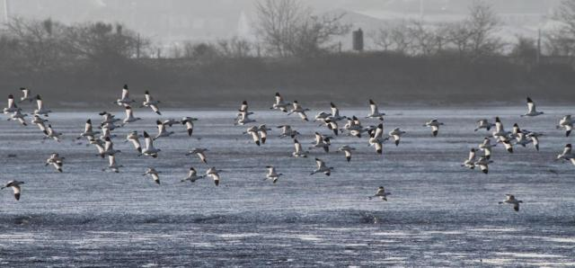 Avocet on the wing. Enough said!