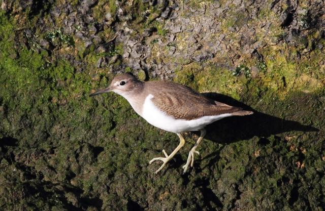 Common sandpiper. Small,but with big character!