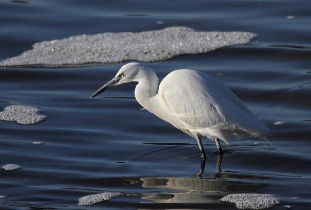 What an outstanding bird!  Such elegance.