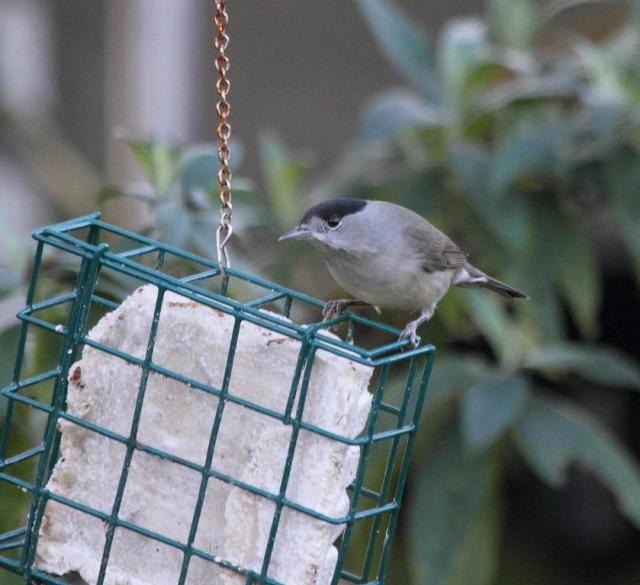 Male blackcap. With a black cap. Of course.