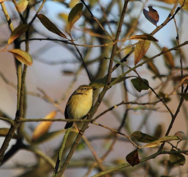 Todays chiffchaff.  Looking for food no doubt.