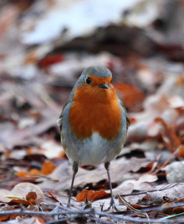 Robin, checking out the mound of leaves that I had disturbed for it.