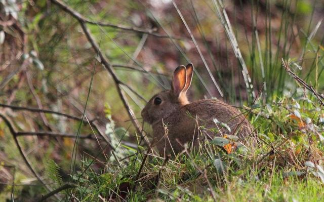 The first rabbit to show today, crossing the path ahead of me.