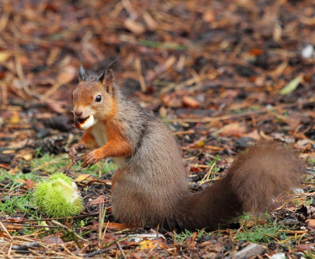Red squirrel, with chestnut.  Red squirrel wins!