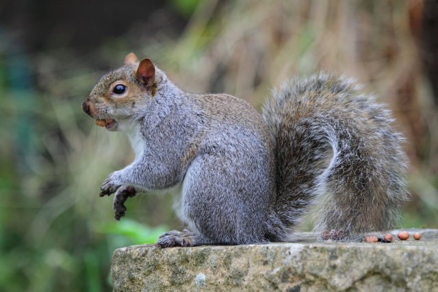 Grey squirrel, with a few peanuts